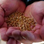 Atalık Karakılçık Buğdayı Yeniden Anadolu Toprağıyla Buluştu