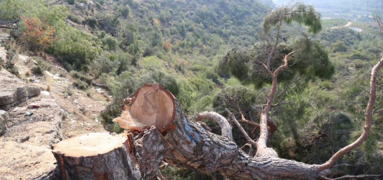 Narenciye Bahçesi Yapmak İçin 70 Yıllık Ağaçları Kestiler