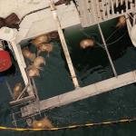 Romanya'da alabora olan gemideki 14 bini aşkın koyun telef oldu