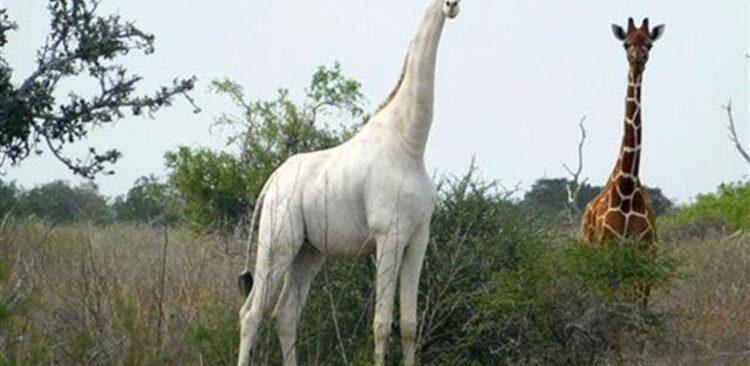 Son dişi beyaz zürafa öldürüldü