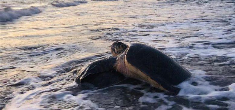Caretta carettalar İztuzu Plajı'na gelmeye başladı