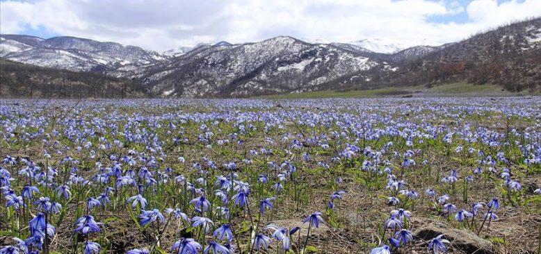 Mavi kardelenler göz alıcı güzellikleriyle doğaya renk kattı