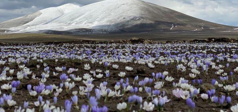 Kars'ta doğa kardelenlerle renklendi