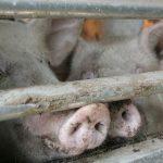 Çin'de Domuzlardan İnsanlara Geçen Yeni Virüs Tespit Edildi