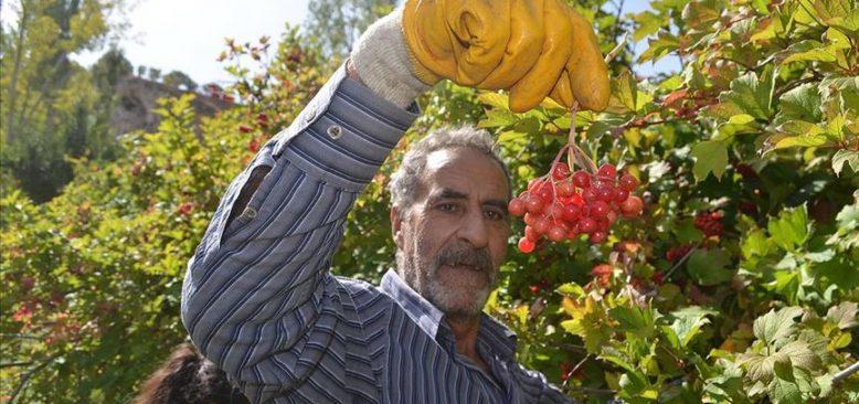 Tescilli 'Bünyan gilaburusu'nda hasat başladı