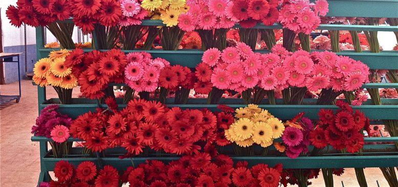 Çiçek sektörü sevgililer gününe tedirgin hazırlanıyor
