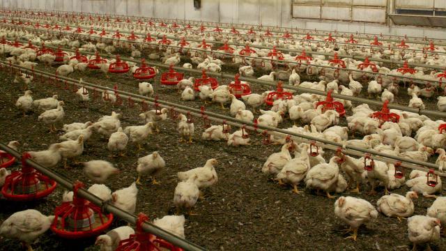 Danimarka'da kuş gribi paniği