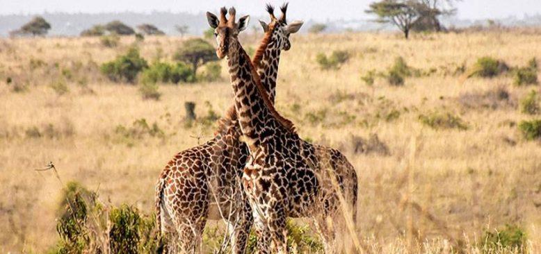 Kenya, vahşi doğadaki tüm canlıları tek tek saymaya başladı