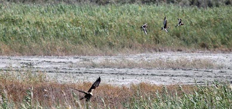 Hatay'daki Mileyha Sulak Alanı'nda bu yıl 3 yeni kuş türü gözlendi