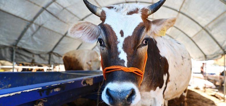 Almanya`da ineklere tuvalet eğitimi verildi